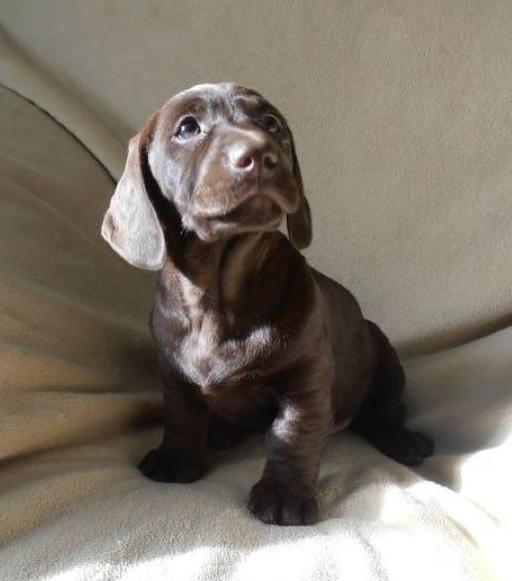 Dachsador puppy! - It's a dachshund/lab mix