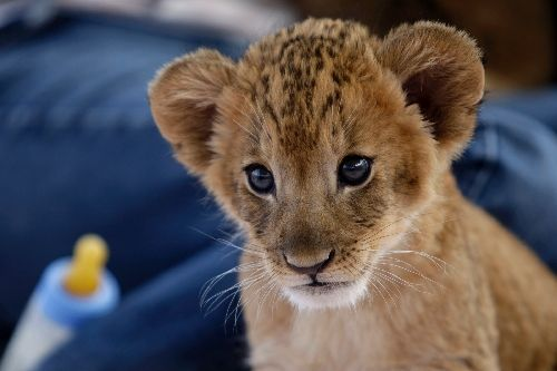 To roar in henderson at lion habitat ranch view reviewjournal com