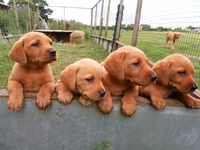 Red and yellow lab puppies