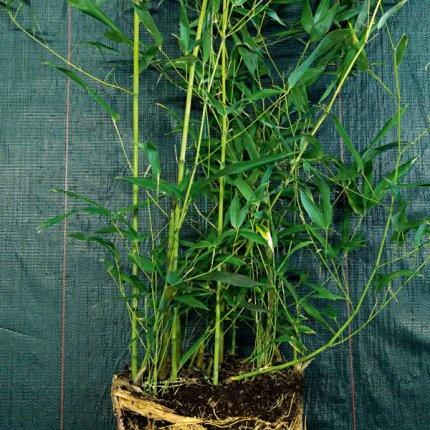 Le bambou une plante robuste ext rieur pinterest for Plante bambou exterieur