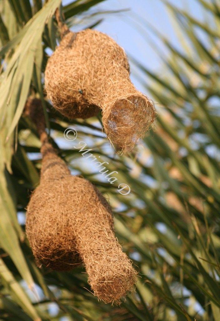 Weaver bird nest pictures - photo#6