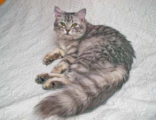 "Siberian Cat, Black silver Spotted Tabby. ""Star"""
