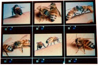 Bees: A series of compositions and large-scale video multimedia spanning from 1996–2001  The original Bee Project #1 premiered at the Oakland Museum as part of Sound Culture 1996. Performers: Wendy Reid; violin, Gino Robai; percussion; Miya Masoaka, koto.