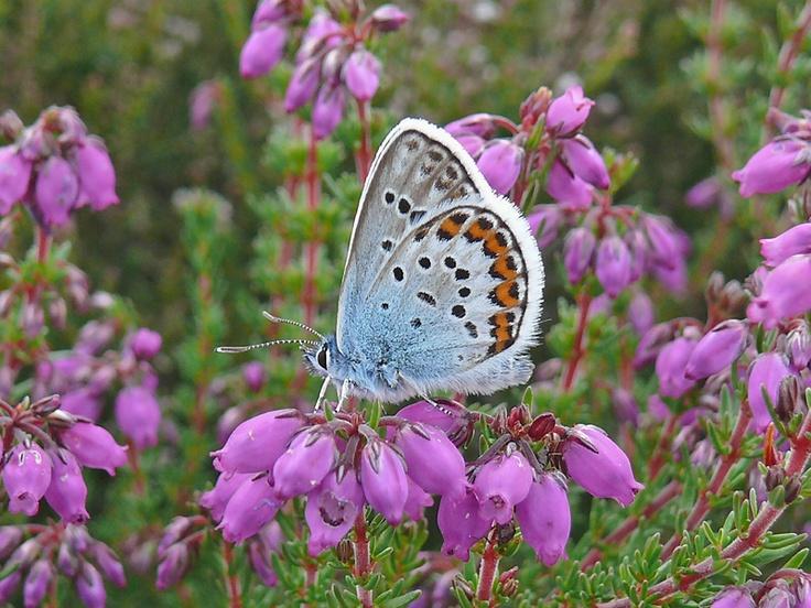 powdery blue butterfly on purple flowers