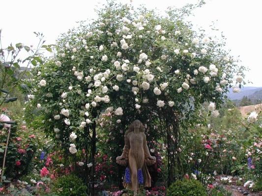 climbing iceberg roses gardening pinterest. Black Bedroom Furniture Sets. Home Design Ideas