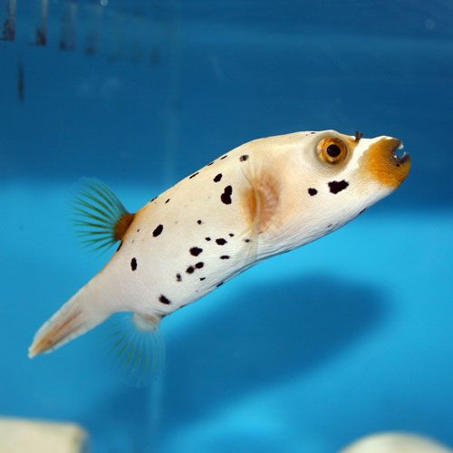 Dog face puffer fish fish pinterest for Fish for dogs