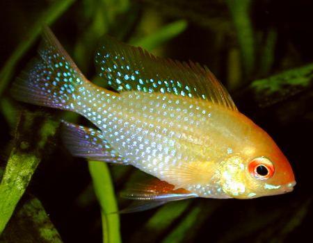 Golden Ram Cichlid Aquarium Ideas Pinterest
