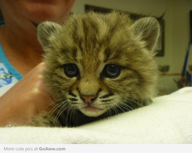 Baby bobcat ♥