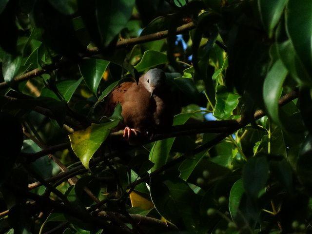 Foto rolinha-roxa (Columbina talpacoti) por Lucilaine Assumpção | Wiki Aves - A Enciclopédia das Aves do Brasil