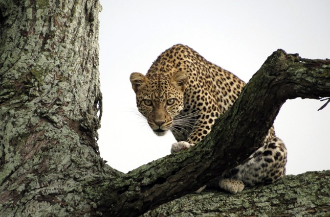 oh, hey leopard.