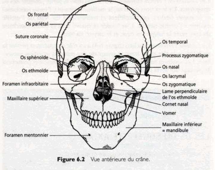 Les os du squelette axial anatomie pinterest for Interieur du corps humain image