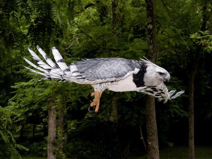 Harpy Eagle in flight. <3