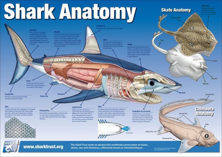 Great White Shark Internal Anatomy