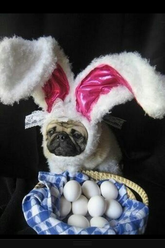 Pug excited for easter pugs pinterest
