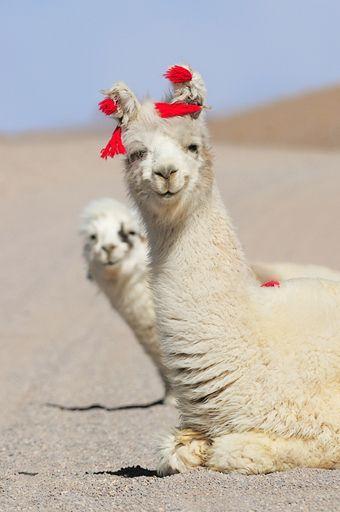 well....hello!  Happy Alpacas