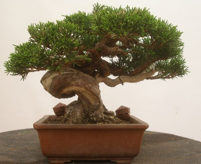 Japanese small tree bonsai aging beautiful and alive for Small japanese tree