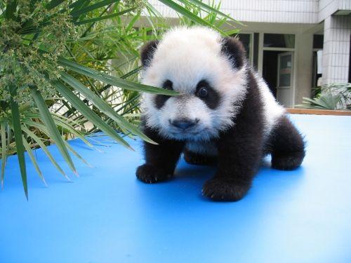 Cute baby panda bears
