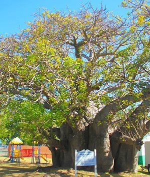 Baobab tree in Queen's Park, Barbados