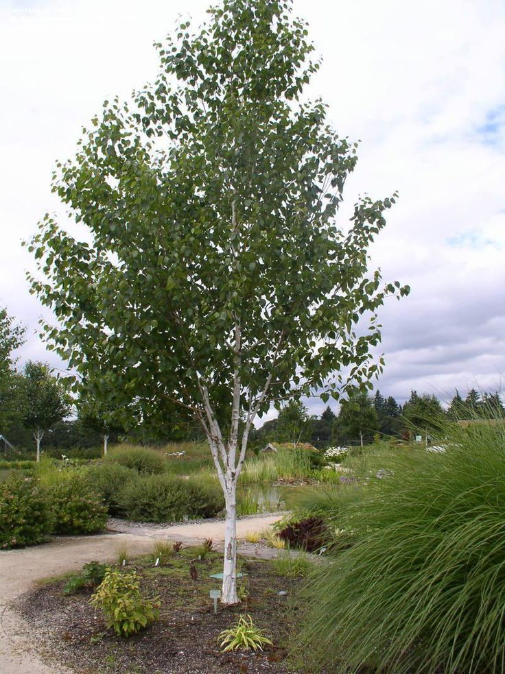 Jacquemontii birch front yard tree summit circle for Trees for small yards