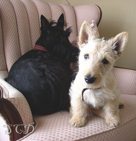 Sweet Scotties in two colors!