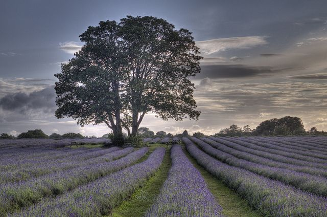 lay with a tree in a lavender field at dusk