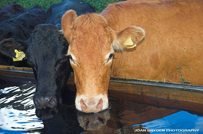 cows drinking at a water trough animals cows amp cattle