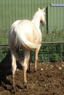 Skipa Golden Shiek; 2003; Palomino stallion; (Skipping Duino x Dances With Skip); Breeder: Tony Daringer, NE.; Owner: J. R. Accord of Bar A  Ranch; SHOW RECORD: 2007 International Ranch & Cowboy Association (IRCA) WORLD CHAMPION JUNIOR RANCH CUTTING STALLION, Reserve World Champion Jr. Ranch Western Pleasure Stallion, and Reserve World Champion Jr. Ranch Trail Stallion. 3rd. at the (IRCA) World Show in Jr. Ranch Halter Stallions. (photo as a yearling)