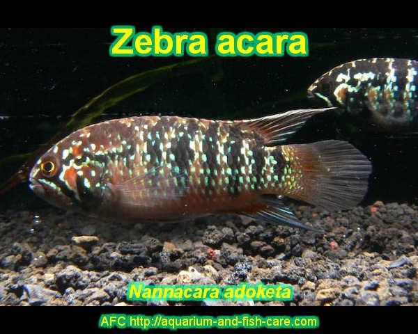 Zebra Acara - Nannacara adoketa Freshwater Aquarium Fish - Aquariu ...
