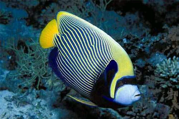 Exotic saltwater fish nature pinterest for Exotic saltwater fish