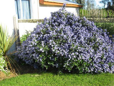 Ceanothus arbustivo arbustos para jard n ferreira for Arbustos para el jardin