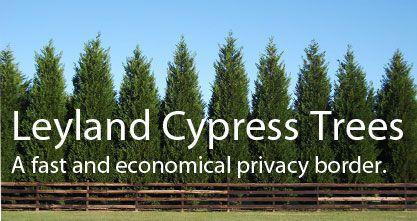Leyland Cypress Natural Fence My Garden Pinterest