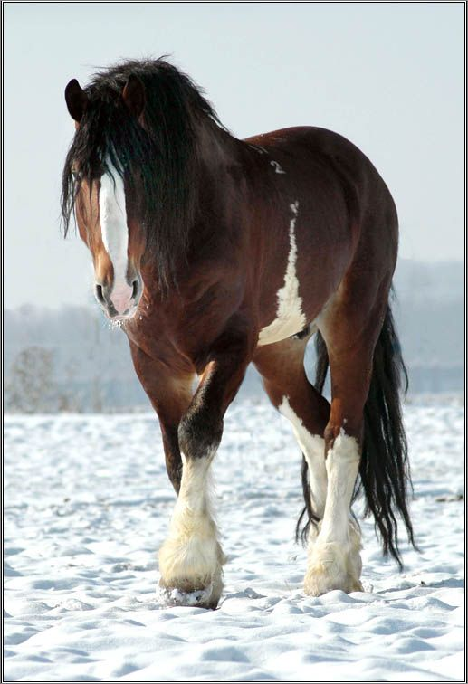Clydesdale ~ beautiful with naturally long tail!
