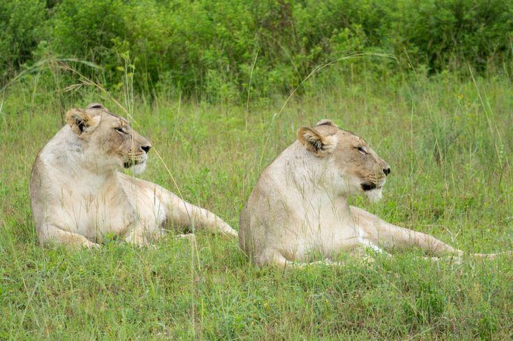 Female lion, entabeni