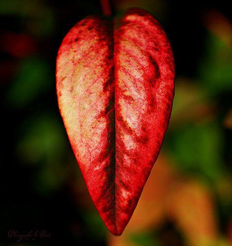 Heart Shaped Leaf ~   Tree, leaves and mushrooms   Pinterest
