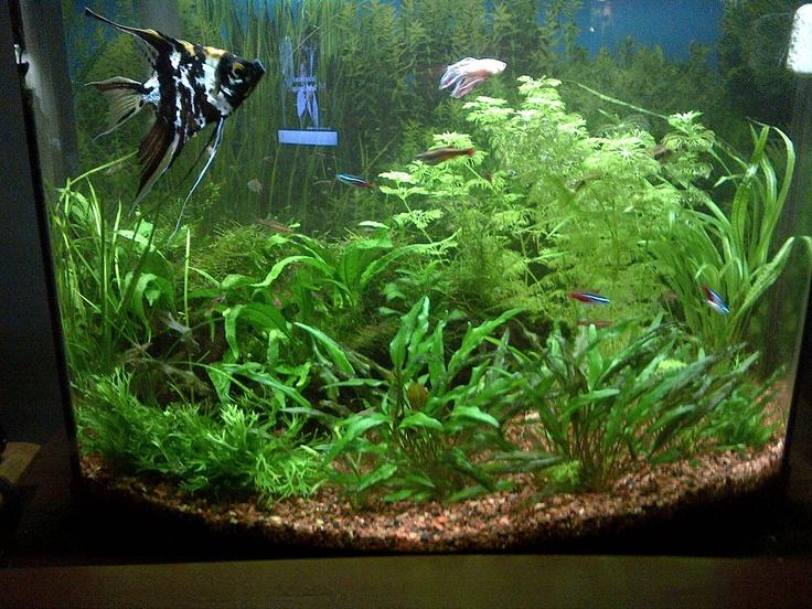 Freshwater aquarium Aquascape, Aquariums, and Fish Pinterest