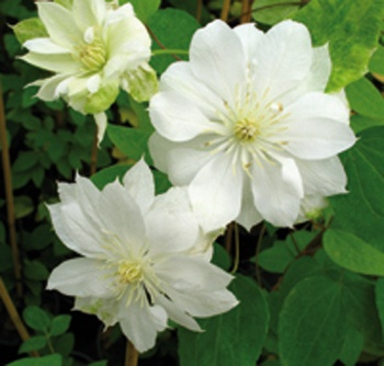 clematis duchess of edinburgh i love flowers their shape. Black Bedroom Furniture Sets. Home Design Ideas