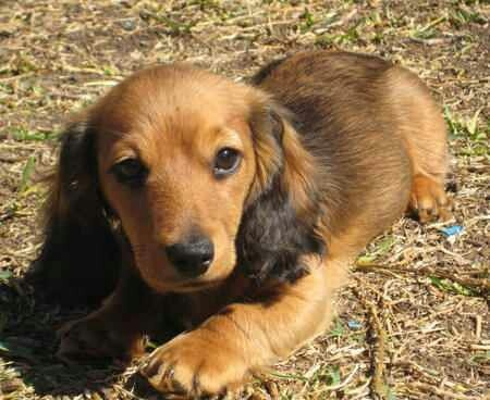 Jack russell doxie mix | Dachshunds! #1 | Pinterest