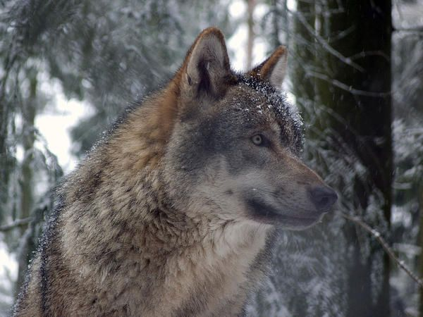 Grey Wolf Facts Interesting Facts