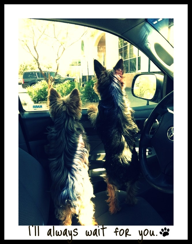 Unconditional Love. #Yorkies #dogs #Love