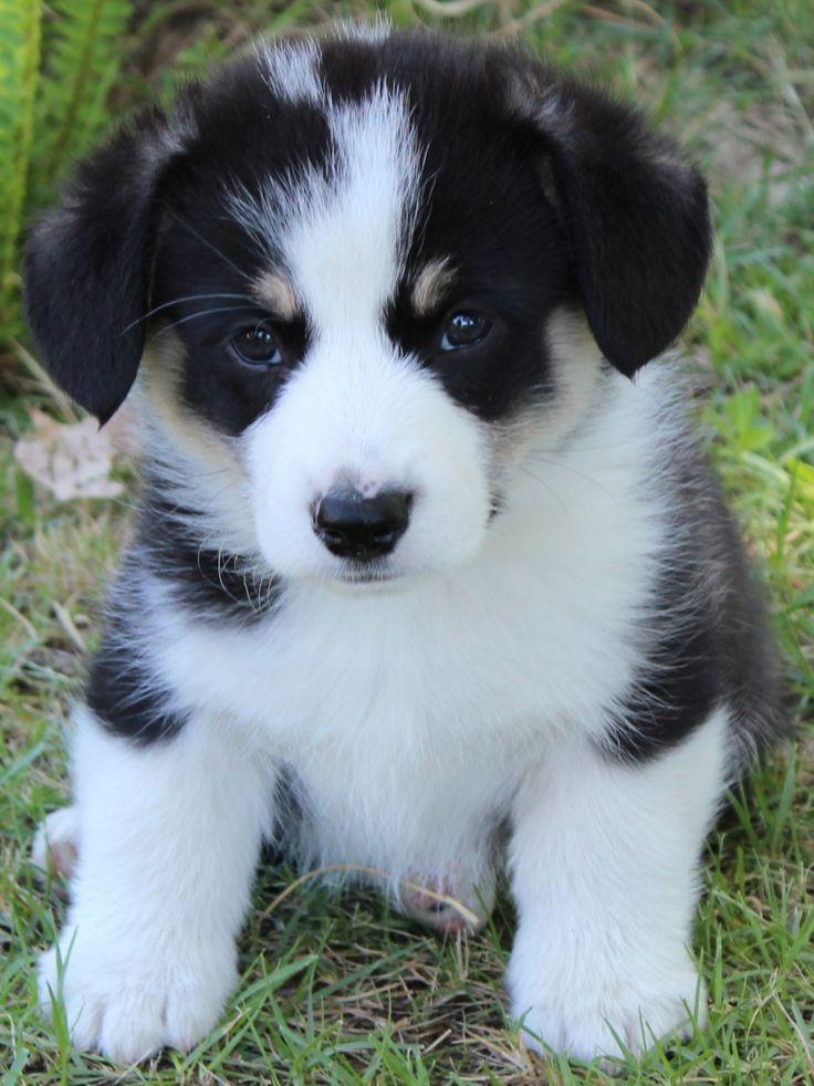 Corgi puppies are the cutest | Animals