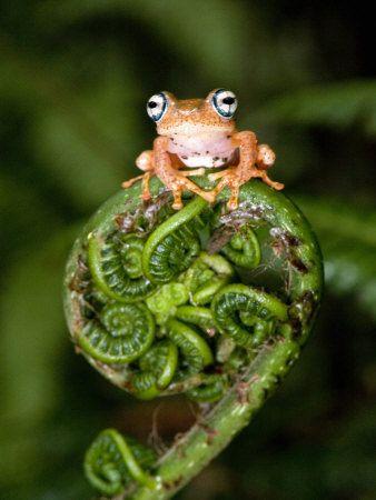 Frog on a fiddlehead