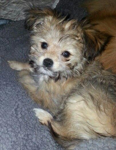 Stella- my Pomeranian/yorkie mix | Animals | Pinterest