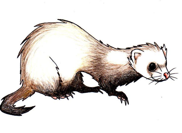 Image result for cartoon ferret