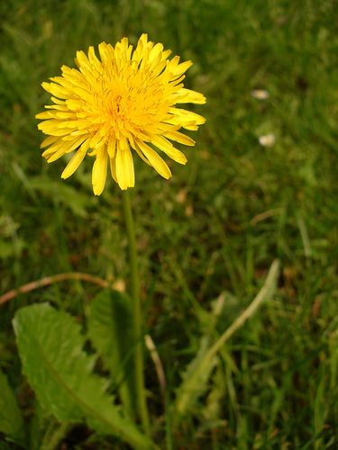 How to Make Dandelion Wine in 10 Steps-This is really interesting, but I may have been living in Kentucky too long... :)