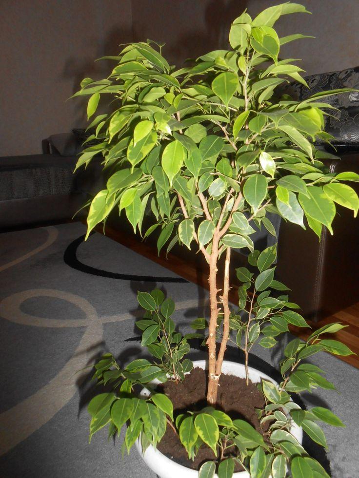 Выращивание и уход фикус бенджамина 356
