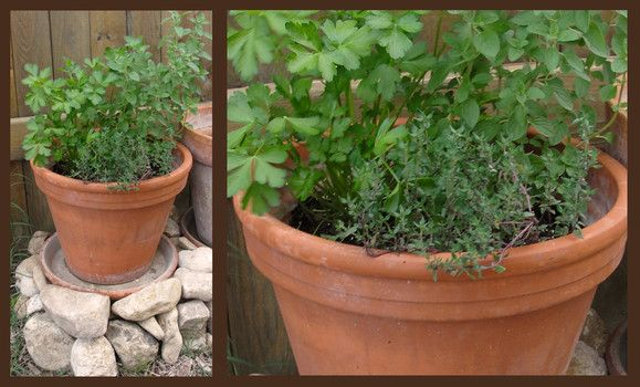 Herb gardening in south Texas for beginners