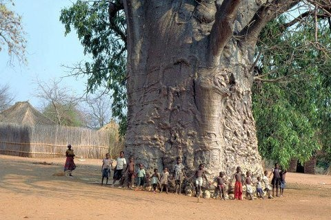 The Baobab tree in Limpopo, South Africa  Well over 2000 years old... known as the tree of life.  It's fruit, which looks like a gourd, is filled with big black seeds surrounded by tart cream, slightly powdery pulp. For years the Africans have eaten both the leaves and fruit which is also known as monkey bread. Now it is being hailed by Westerners as a new superfruit. It is said to have six times the Vitamin C levels of an orange as well as vitamin A, twice the amount of calcium of milk.