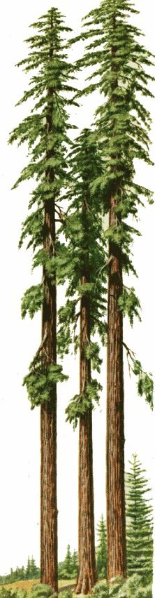 Redwood Trees Of California Tattoos And Piercings