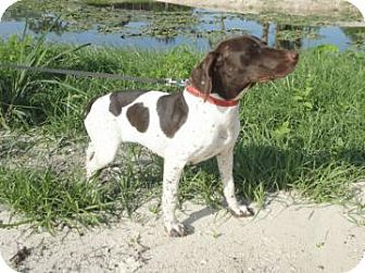...,  FL - German Shorthaired Pointer. Meet Fancy a Dog for Adoption