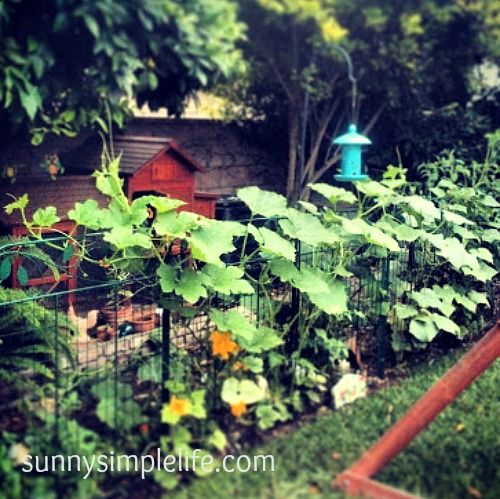 gardening on your chicken coop fencing backyard poultry magazine